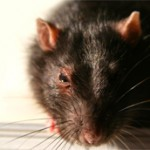What Should I Do If Rats Invade My Home?