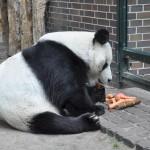 Memphis Giant Pandas