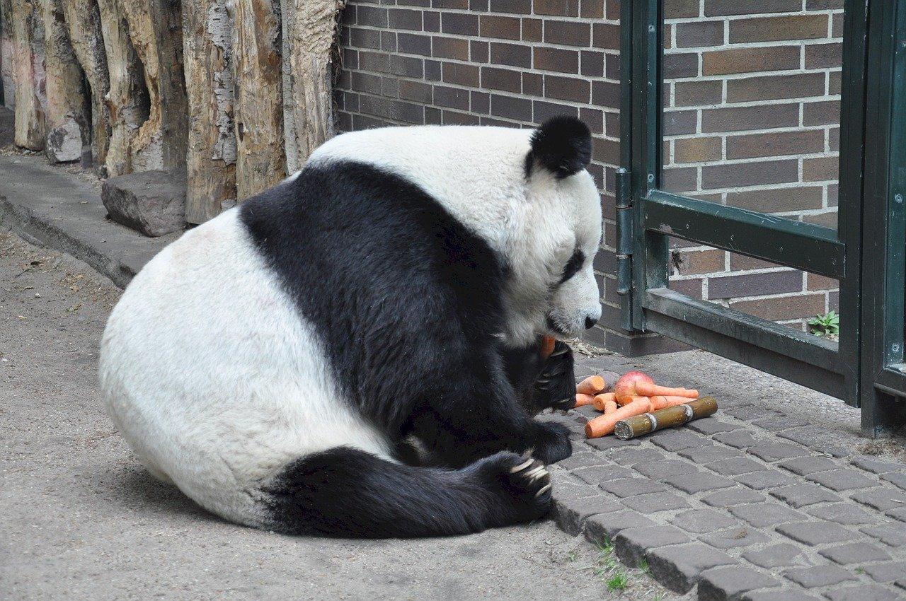 panda-655493_1280