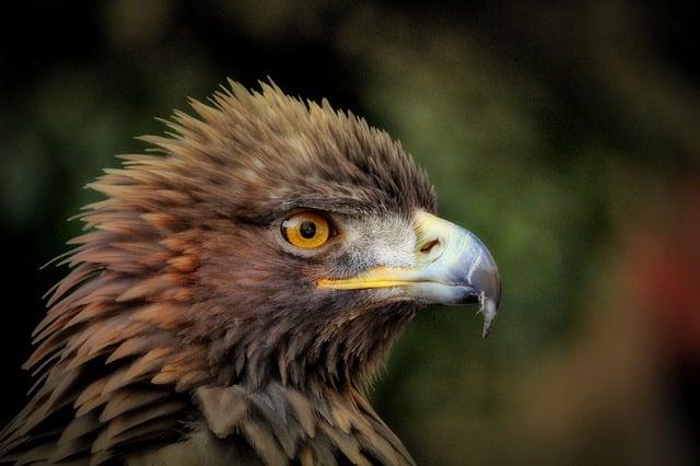 golden-eagle-627943_640