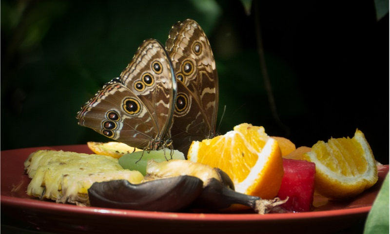 butterflies nourishing fruits , durham museum life and science